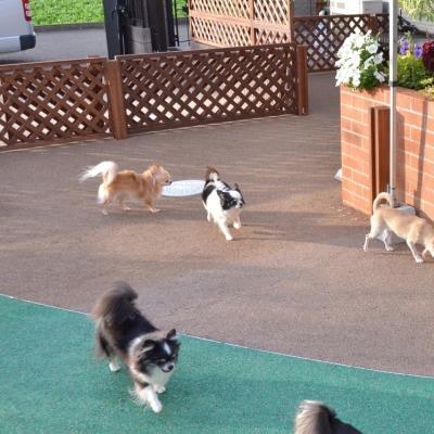 大家族(チワワ10頭)がケンカせず遊べる柵を活用したドッグガーデン