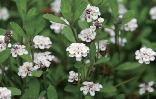 ランタナに似た小花を咲かせます♪