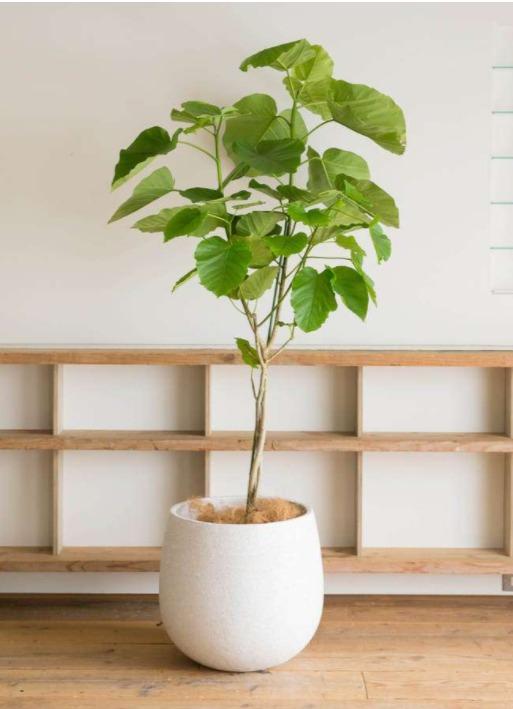インテリアグリーン(大型観葉植物)の販売始めました♪