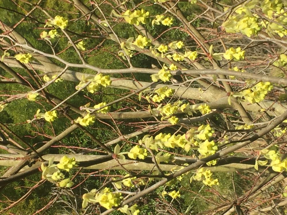 トサミズキ花&枝